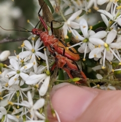 Gminatus australis (Orange Assassin Bug) at Red Hill Nature Reserve - 7 Jan 2021 by JackyF
