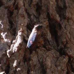 Unidentified Bug (TBC) at Moruya, NSW - 9 Jan 2021 by LisaH
