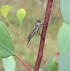 Cerdistus varifemoratus (Robber fly) at Red Hill Nature Reserve - 7 Jan 2021 by JackyF