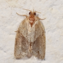 Epiphyas postvittana (Light Brown Apple Moth) at Melba, ACT - 27 Dec 2020 by kasiaaus