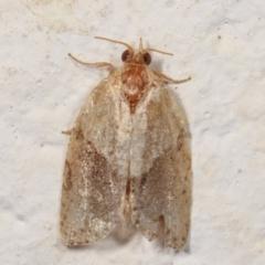 Epiphyas postvittana (Light Brown Apple Moth) at Melba, ACT - 27 Dec 2020 by kasiaaus