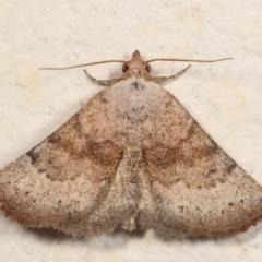 Mataeomera mesotaenia (Mini Owlet Moth) at Melba, ACT - 27 Dec 2020 by kasiaaus