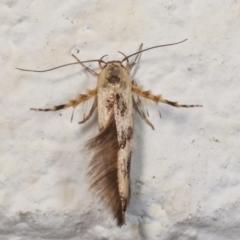 Stathmopoda melanochra (An Oecophorid moth (Eriococcus caterpillar)) at Melba, ACT - 27 Dec 2020 by kasiaaus