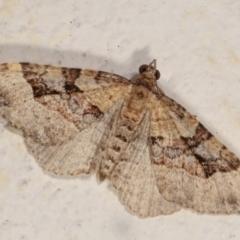 Epyaxa subidaria (Subidaria Moth) at Melba, ACT - 27 Dec 2020 by kasiaaus