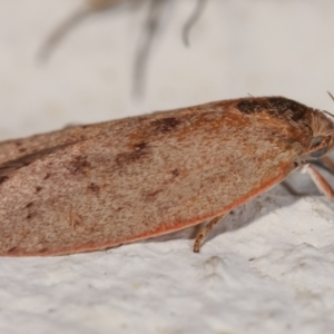 Heliocausta undescribed species at Melba, ACT - 28 Dec 2020