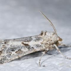 Eremochroa alphitias (Pale X-o Moth) at Melba, ACT - 28 Dec 2020 by kasiaaus