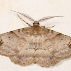 Syneora hemeropa (Ring-tipped Bark Moth) at Melba, ACT - 28 Dec 2020 by kasiaaus