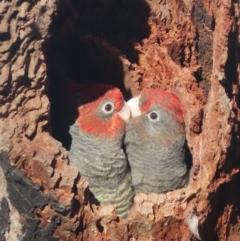 Callocephalon fimbriatum (Gang-gang Cockatoo) at Garran, ACT - 9 Jan 2021 by roymcd
