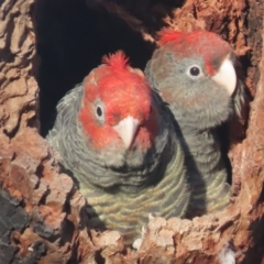 Callocephalon fimbriatum (Gang-gang Cockatoo) at Red Hill Nature Reserve - 10 Jan 2021 by roymcd