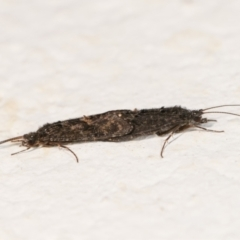 Agapetus (A caddisfly) at Melba, ACT - 27 Dec 2020 by kasiaaus