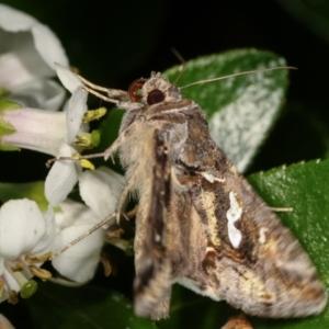 Chrysodeixis argentifera at Melba, ACT - 28 Dec 2020