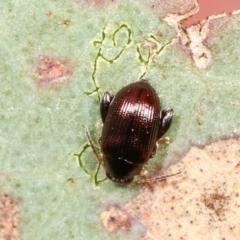 Alticini sp. (tribe) (Unidentified flea beetle) at Flea Bog Flat, Bruce - 29 Dec 2020 by kasiaaus