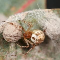 Cryptachaea veruculata (Diamondback comb-footed spider) at Flea Bog Flat, Bruce - 29 Dec 2020 by kasiaaus