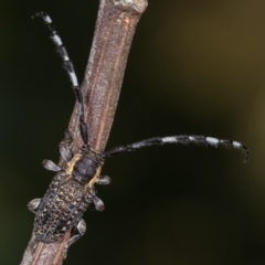 Ancita marginicollis (A longhorn beetle) at Flea Bog Flat, Bruce - 29 Dec 2020 by kasiaaus