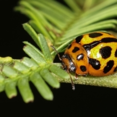 Peltoschema oceanica (Oceanica leaf beetle) at Flea Bog Flat, Bruce - 29 Dec 2020 by kasiaaus