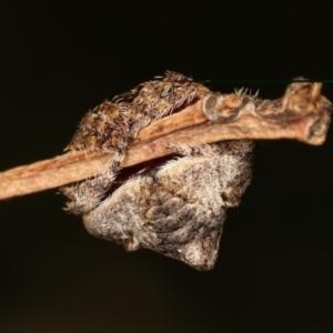 Dolophones sp. (genus) at Flea Bog Flat, Bruce - 29 Dec 2020