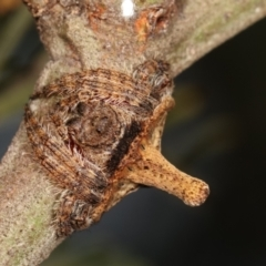 Dolophones turrigera (Turret spider) at Flea Bog Flat, Bruce - 29 Dec 2020 by kasiaaus
