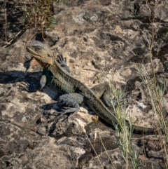 Intellagama lesueurii (Eastern Water Dragon) at Googong Foreshore - 9 Jan 2021 by trevsci