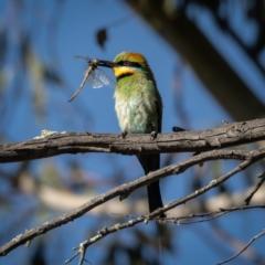 Merops ornatus (Rainbow Bee-eater) at Burra, NSW - 9 Jan 2021 by trevsci