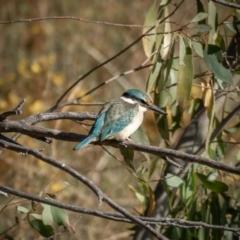Todiramphus sanctus (Sacred Kingfisher) at Burra, NSW - 9 Jan 2021 by trevsci