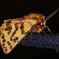 Spilosoma curvata (Crimson Tiger Moth) at Melba, ACT - 29 Dec 2020 by kasiaaus