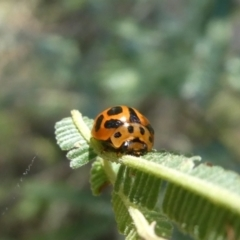 Peltoschema oceanica (Oceanica leaf beetle) at Theodore, ACT - 8 Jan 2021 by Owen