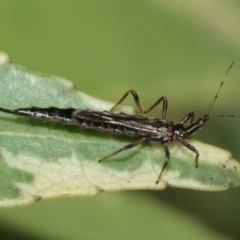 Idolothrips spectrum (Giant thrips) at ANBG - 10 Jan 2021 by TimL