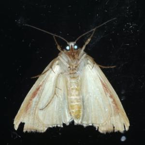 Cosmodes elegans at Ainslie, ACT - 9 Jan 2021