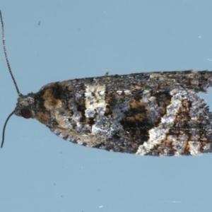 Asthenoptycha sphaltica at Ainslie, ACT - 9 Jan 2021