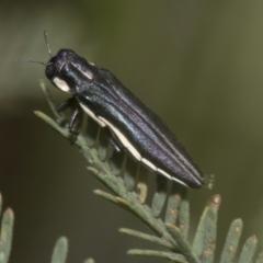 Agrilus hypoleucus (Hypoleucus jewel beetle) at The Pinnacle - 6 Jan 2021 by AlisonMilton