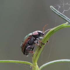 Edusella sp. (genus) (A leaf beetle) at Dryandra St Woodland - 1 Jan 2021 by ConBoekel