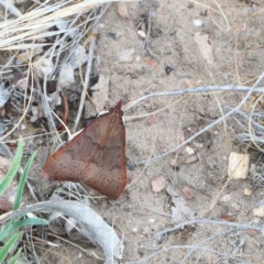Uresiphita ornithopteralis (Tree Lucerne Moth) at Dryandra St Woodland - 1 Jan 2021 by ConBoekel