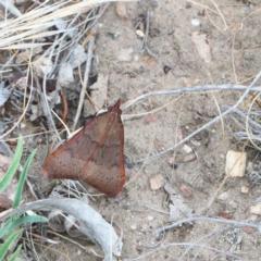 Uresiphita ornithopteralis (Tree Lucerne Moth) at Dryandra St Woodland - 1 Jan 2021 by ConBoekel
