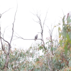 Philemon corniculatus (Noisy Friarbird) at Dryandra St Woodland - 1 Jan 2021 by ConBoekel