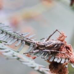 Oxyopes sp. (genus) (Lynx spider) at Dryandra St Woodland - 1 Jan 2021 by ConBoekel
