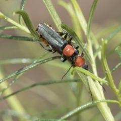 Chauliognathus tricolor (Tricolor soldier beetle) at The Pinnacle - 5 Jan 2021 by AlisonMilton