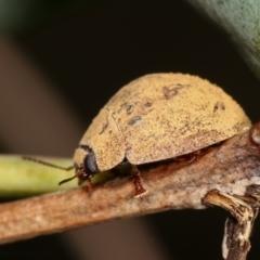Trachymela sp. (genus) (Brown button beetle) at Flea Bog Flat, Bruce - 29 Dec 2020 by kasiaaus