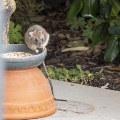 Rattus rattus (Black Rat) at Lyons, ACT - 10 Jan 2021 by Gallpix