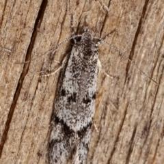 Heterozyga coppatias (A concealer moth) at Melba, ACT - 29 Dec 2020 by kasiaaus