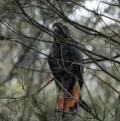 Calyptorhynchus lathami at Penrose, NSW - 2 Jan 2021