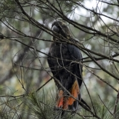Calyptorhynchus lathami (Glossy Black-Cockatoo) at Penrose - 2 Jan 2021 by Aussiegall