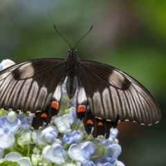 Papilio aegeus (Orchard Swallowtail) at Penrose, NSW - 7 Jan 2021 by Aussiegall