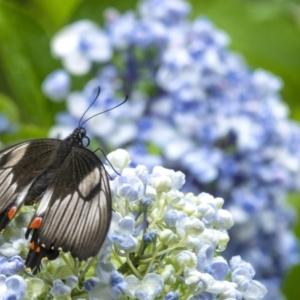 Papilio aegeus at Penrose, NSW - 7 Jan 2021