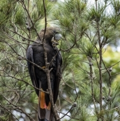 Calyptorhynchus lathami (Glossy Black-Cockatoo) at Penrose - 8 Jan 2021 by Aussiegall