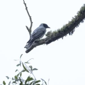 Coracina novaehollandiae (Black-faced Cuckooshrike) at Penrose by Aussiegall