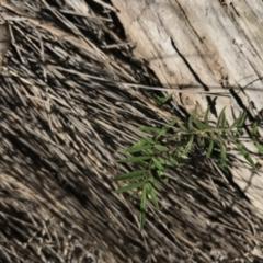 Swainsona sp. at Namadgi National Park - 10 Jan 2021 by Tapirlord
