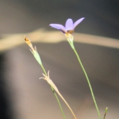 Wahlenbergia sp. (Bluebell) at WREN Reserves - 9 Jan 2021 by Kyliegw