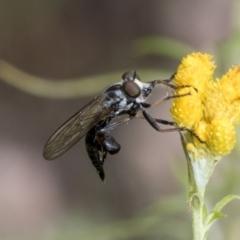 Cerdistus sp. (genus) (Robber fly) at Hawker, ACT - 6 Jan 2021 by AlisonMilton