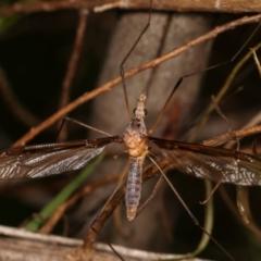 Leptotarsus (Macromastix) sp. (genus & subgenus) (Unidentified Macromastix crane fly) at Flea Bog Flat, Bruce - 29 Dec 2020 by kasiaaus