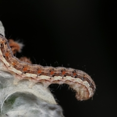 Noctuidae sp. unclassified IMMATURE moth (Immature Noctuidae Moth) at Melba, ACT - 28 Dec 2020 by kasiaaus